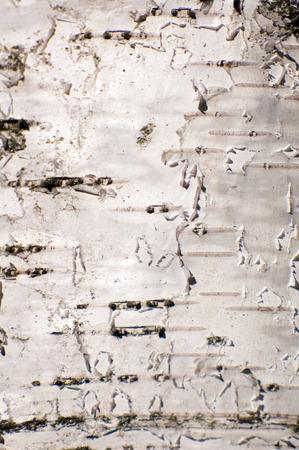 birchbark: Abstract background of white birch bark