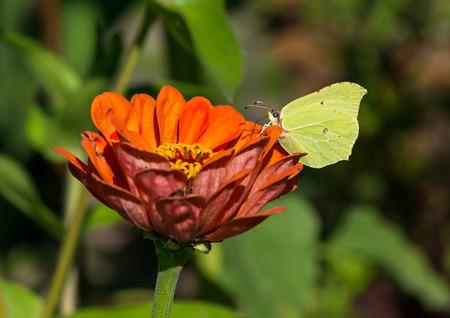 gonepteryx: Yellow butterfly, Common brimstone sitting on orange zinnia elegans Stock Photo