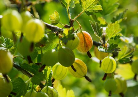 southeast europe: Gooseberry,  an edible fruit, native to Europe, northwestern Africa, west, south and southeast Asia.
