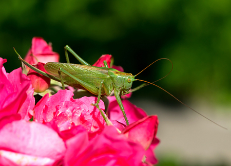 grig: Katydid Tettigonia cantans on a pink rose. Presents in most of Europe, in eastern Palearctic ecozone, in Near East and in North Africa.