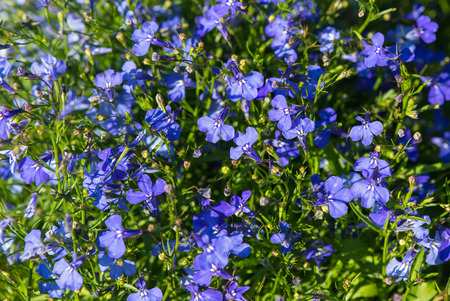 lobelia: Lobelia  is a genus of flowering plants of Campanulaceae family, generally known as lobelias.