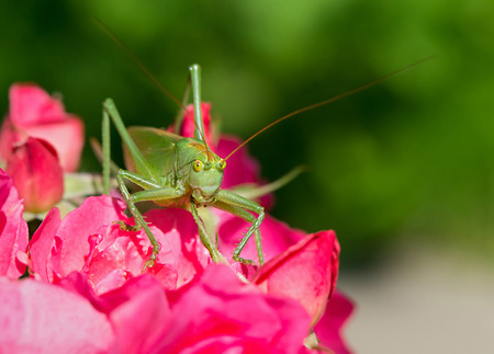 belonging: Portrait of Tettigonia cantans, a species of katydids belonging to the family Tettigoniidae.