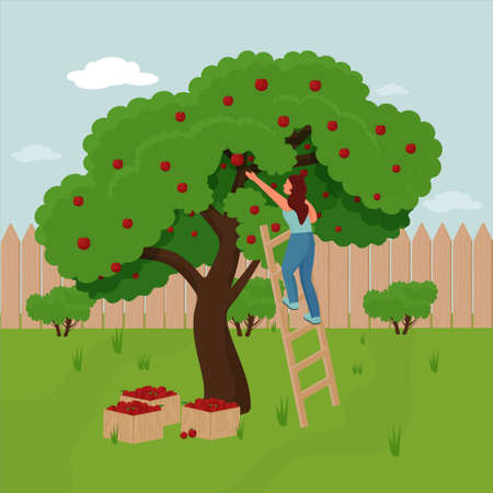 Woman Farmer Pick Apple Harvest to Box. Characters Harvesting Ripe Fruits from Green Organic Tree. Vector illustration