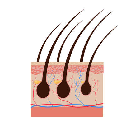 Vector illustration of human hair diagram. Piece of human skin and all structure of hair on the white background. Medical Treatment of baldness, epilation concept. Vector illustration