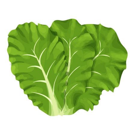 Romain salad, composition of leaves colorful and detailed drawing isolated on white background. Design element, clipart, herbs for decor culinary, menu, promo or advertising.