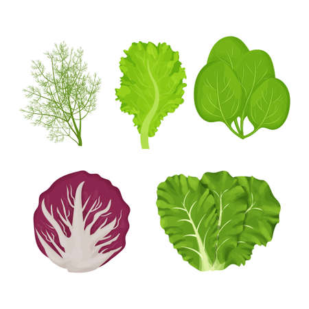 Fresh, raw leaves of salad in cartoon style set. Dill, lettuce, Romain, spinach and radicchio isolated on white background. Collection herbs, ingredient. Vector illustration