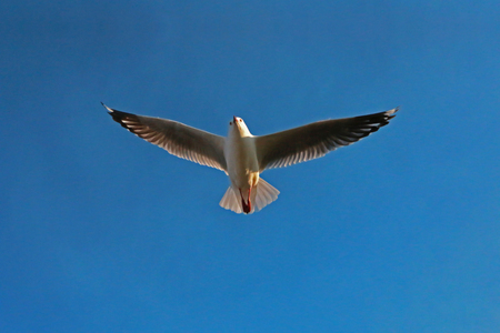Seagull Flying at Great Ocean Road, Australia.
