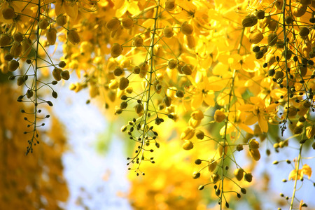 Cassia fistula or golden shower national flower of thailand Stock Photo