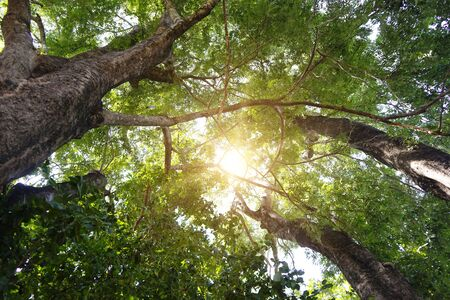 Big tree nature green wood sunlight backgrounds. The sun shining through a majestic green tree. Beautiful landscape of asian forest photographed in forest. Standard-Bild - 133090568
