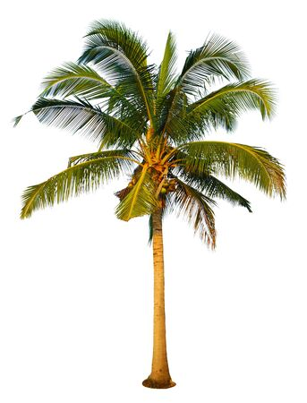 Coconut and palm trees Isolated tree on white background