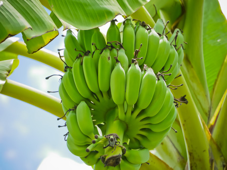 green raw of Cultivated banana in Thailand asia
