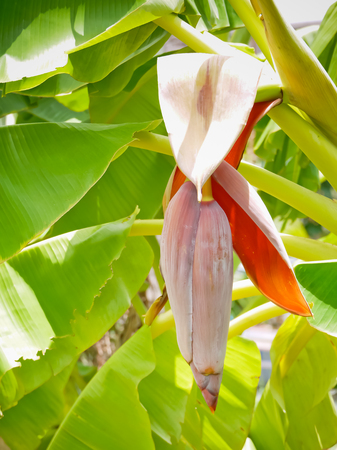 blossom of Cultivated banana in Thailand asia Stock Photo
