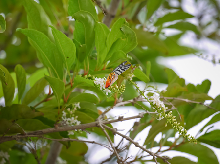 A butter like to search for nectar on the Buddleja paniculata or Rachavadee tree in Thailand Stock Photo