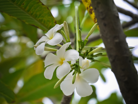 the white plumeria flower with close up view Stock Photo
