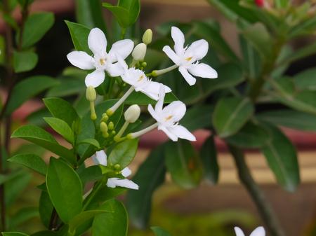 흰 wringhtia antidysenterica 또는 태국에서 피치 피치 꽃 스톡 콘텐츠