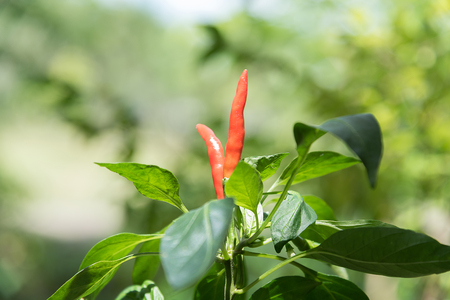 chilly: Chilly peppers , Chilly tree , Chilly plant
