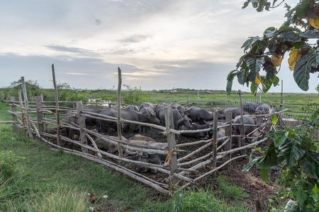 Buffalo in paddock ,Thailand