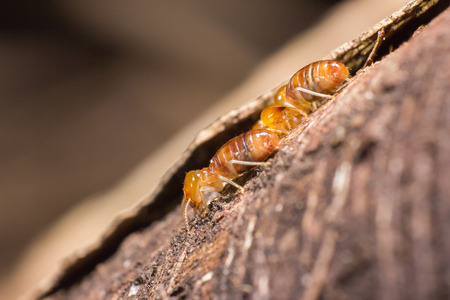 Worker and nasute termites Stock Photo