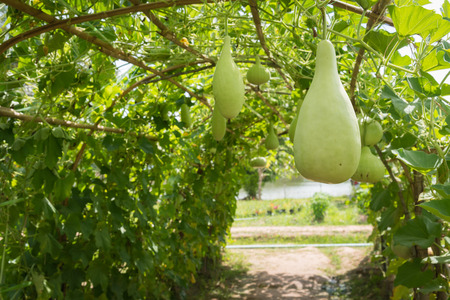 ash gourd: Wax gourd in green vegetable garden