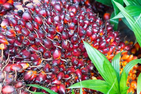 palm: palm oil plantation