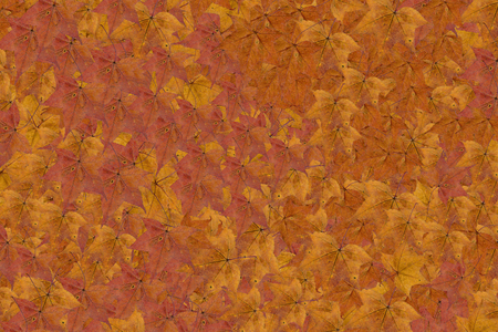 Maple leaves background, Autumn maple leaves as background