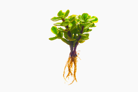 Tree with a root on a white background. Plants with roots on isolate background