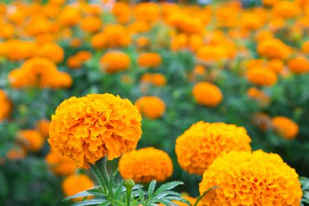 Beautiful marigold flowers in the garden yellow marigold flower beautiful marigold flowers in the garden yellow marigold flower stock photo 85239644 mightylinksfo