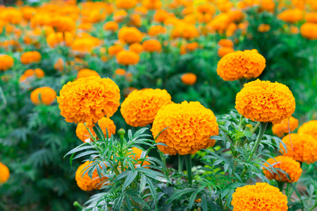 Beautiful marigold flowers in the garden yellow marigold flower beautiful marigold flowers in the garden yellow marigold flower stock photo 85334256 mightylinksfo