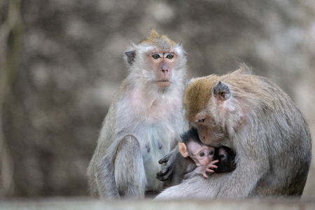 Exotic asian animals. Cute monkeys family.  big troop of monkeys live in downtown. Monkey with cub sad