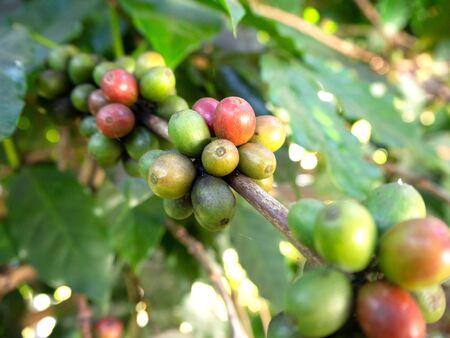Coffee beans  From trees coffee , Fresh coffee beans, Coffee beans on trees