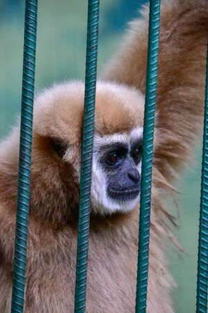 Gibbon Clanging inside of the Cage at the Zoo. Gibbons caught an iron cage with sad eyes in the zoo.