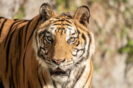 The tiger is looking for food in the forest. Tiger, portrait of a bengal tiger.