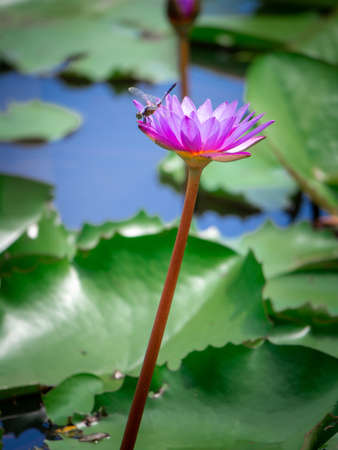 Lotus pink. The pink lotus that is above the water in the pond and has a lotus leaf in the morning.