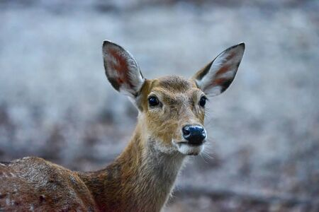 A pretty female Manchurian Sika Deer, spotted or sika deer in the jungle. Wildlife and animal photo.
