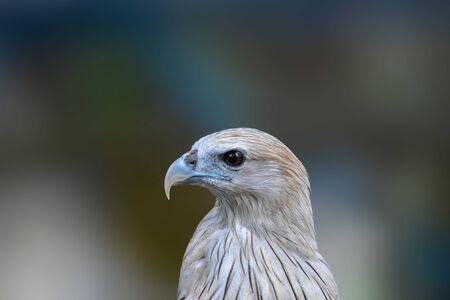 Hawk eyes, red wing color hawk, harris hawk, Hawk portrait, Hawk eyes view. Banque d'images
