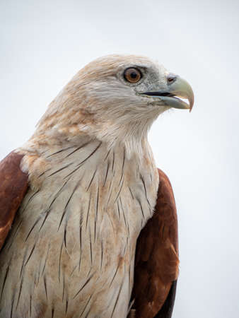 Close up portrait of a red hawk has a reddish-brown color except the head and chest are white.