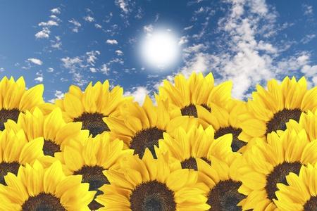 Sun flower on blue sky photo