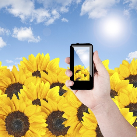 Mobile phone with camera taking photo of sunflower photo