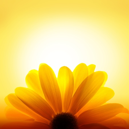 backlit: Macro shot of sunflower on yellow background