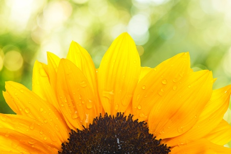 Macro shot of sunflower on summer scene background photo