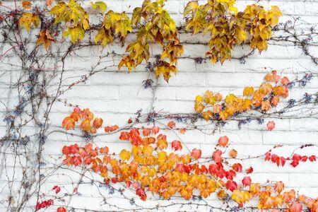 aronia: Autumn leaf on wall Stock Photo