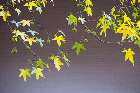aronia: Autumn leaf Stock Photo