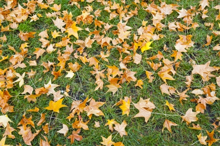 Autumn leaf on green grass photo