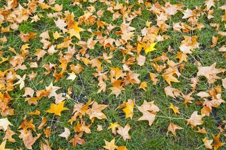aronia: Autumn leaf on green grass Stock Photo
