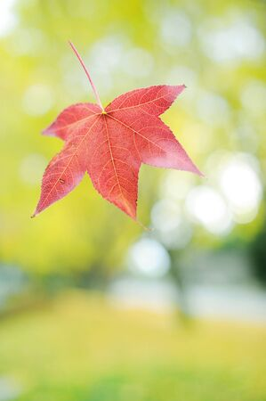 chokeberry: Autumn leaf Stock Photo
