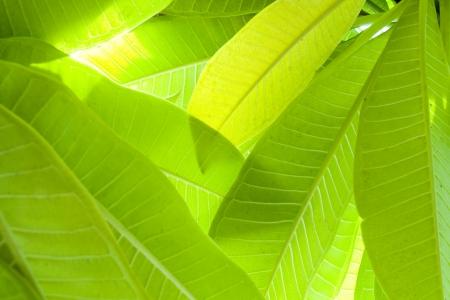 Green Leaf texture photo