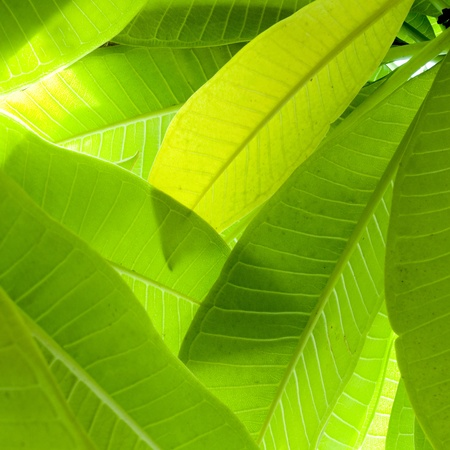 banana leaf: Close up of green Leaf texture Stock Photo