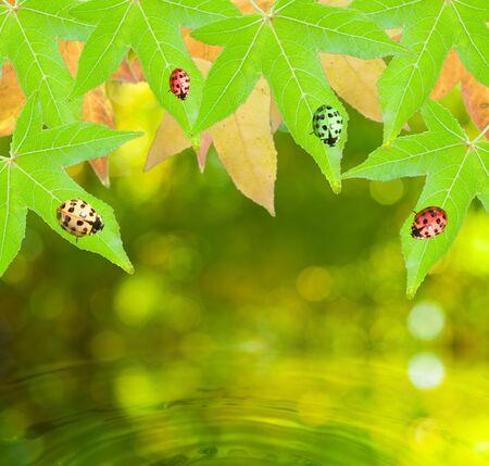Ladybug sitting on a green leaf with summer background  photo