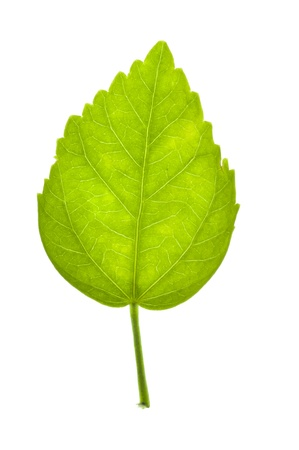 Green Leaf isolate on white background Stock Photo - 15241821