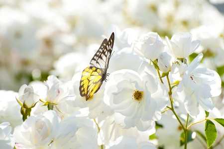 Butterfly on white flower photo